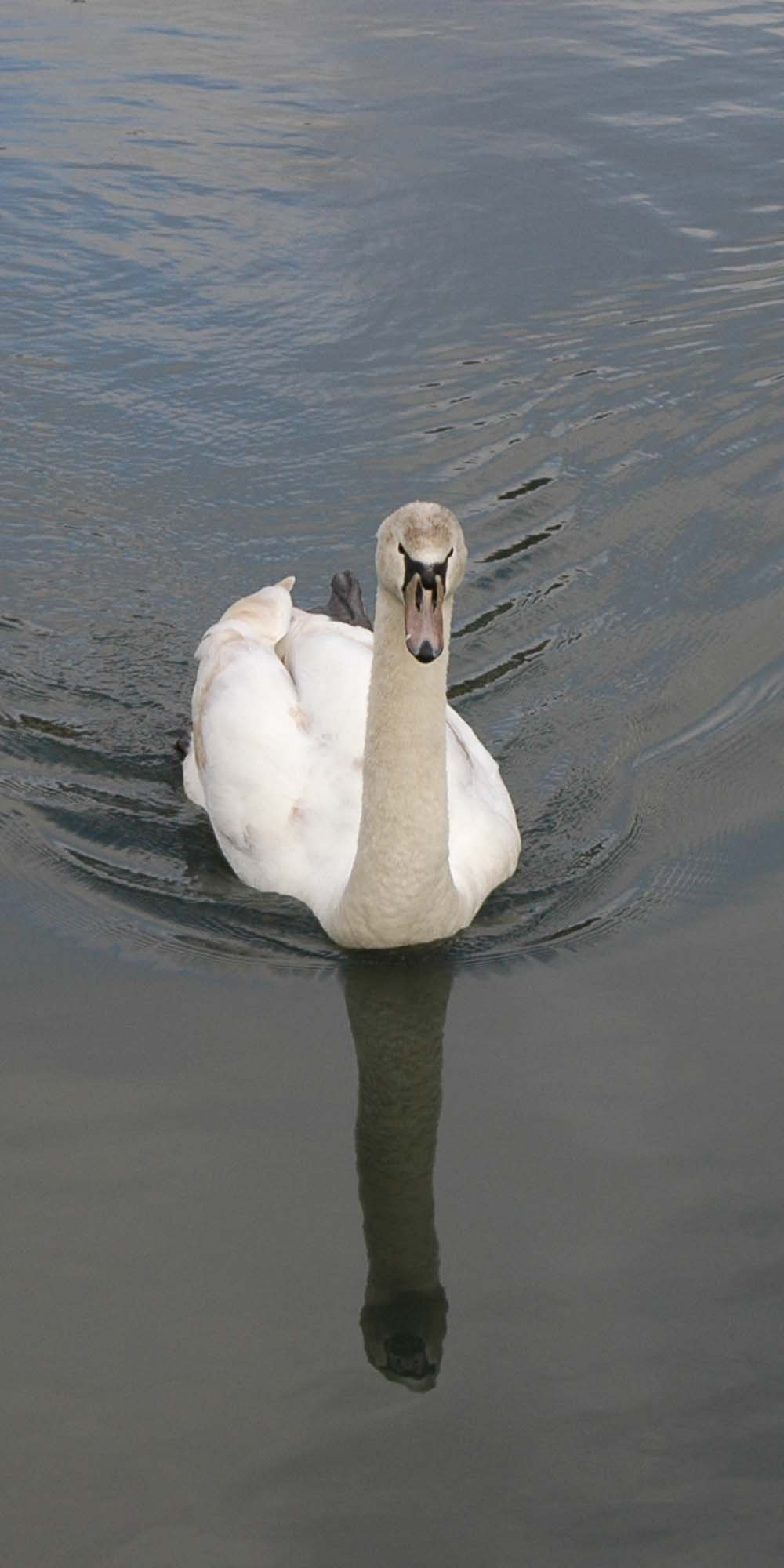 Swan on The National Archives pond
