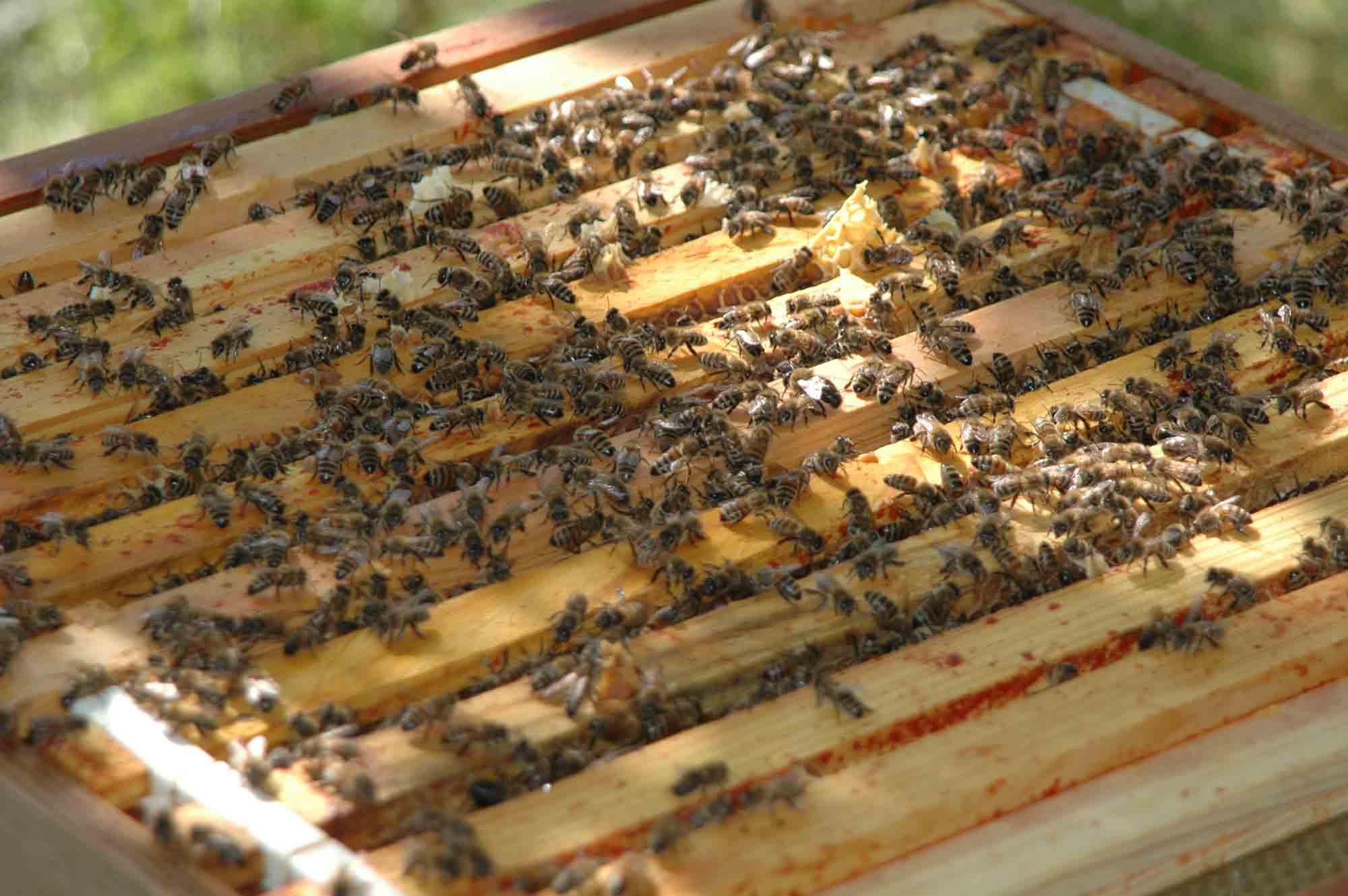 Honeybees on the frames