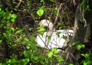 Female Swan on the nest