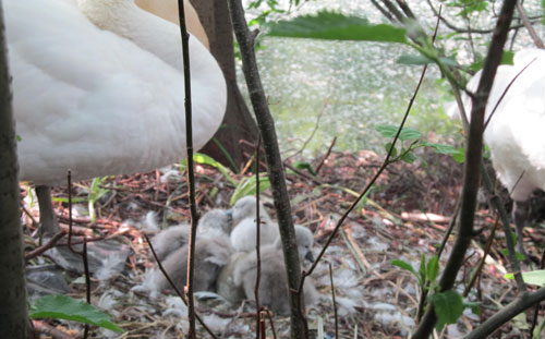 Newly hatched cygnets at The National Archives