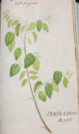 Tanta Anana Plant (reference: CO 100/14)
