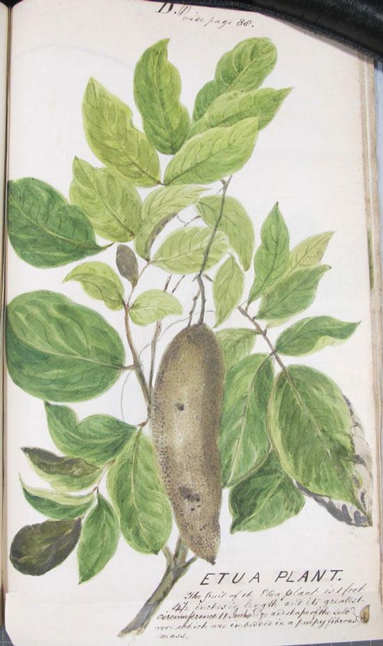 Etua Plant (reference: CO 100/14)