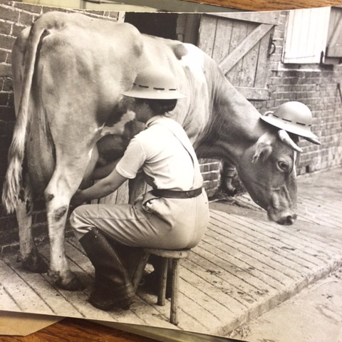 Land girl and cow wearing tin hat