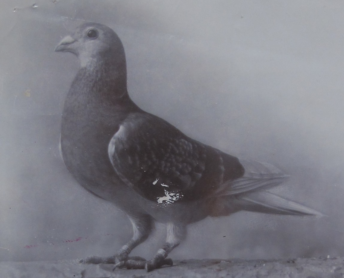 Image of a black and white photograph of homing pigeon 'Admiral'