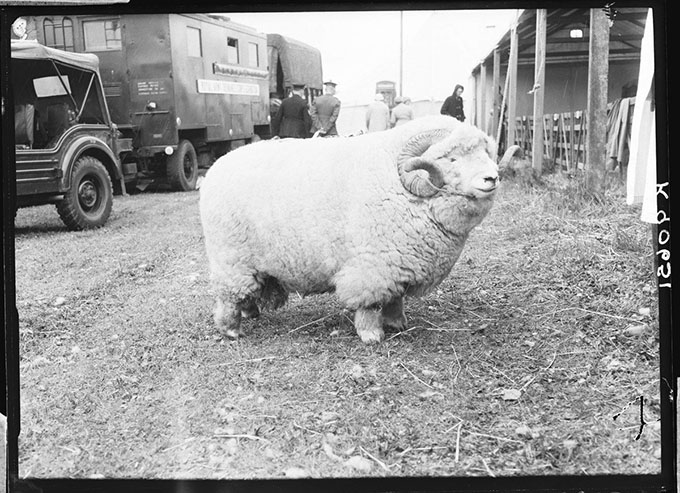 Described as an 'absolute unti', the black and white photograph from the Museum of English Rural Life's collection, shows a large and well-groomed aged ram.